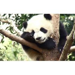 Čína - zvířata - panda - příroda