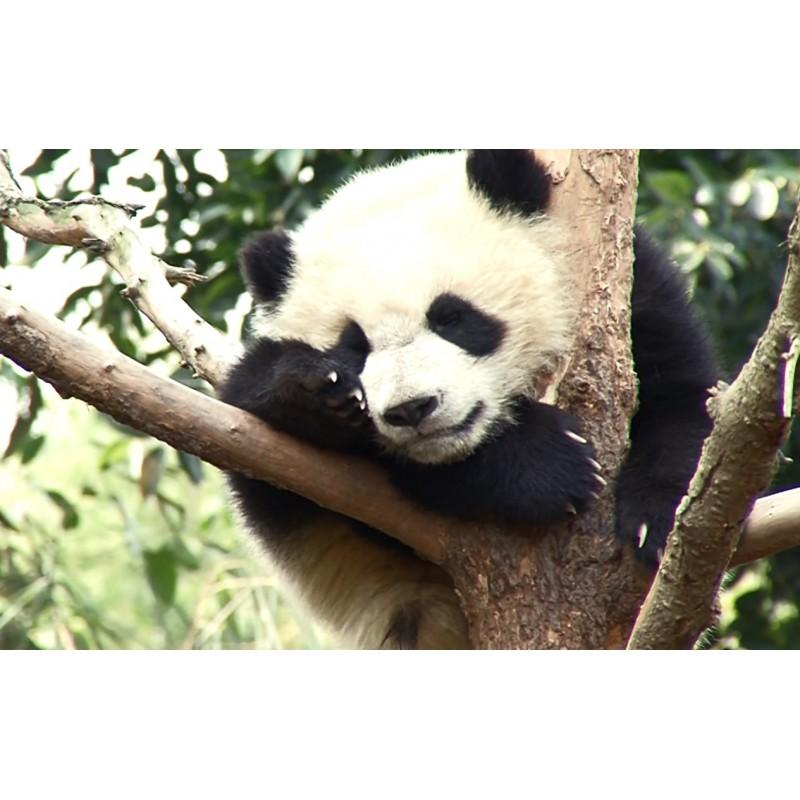 China - animals - panda - nature