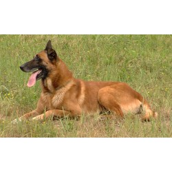 Zvířata - pes - výcvik - kynologie