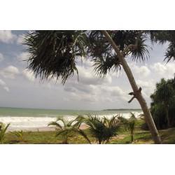 Srí Lanka - Indický oceán - pláž - písek - palma - vlny - pes