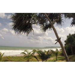 Sri Lanka - Indian Ocean - beach - sand - palm - wave - dog
