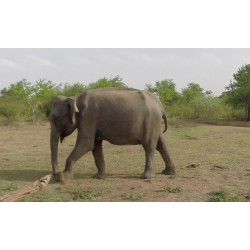 Zvířata - Srí Lanka - Udawalawe safari - sloni - buvoli - jeep