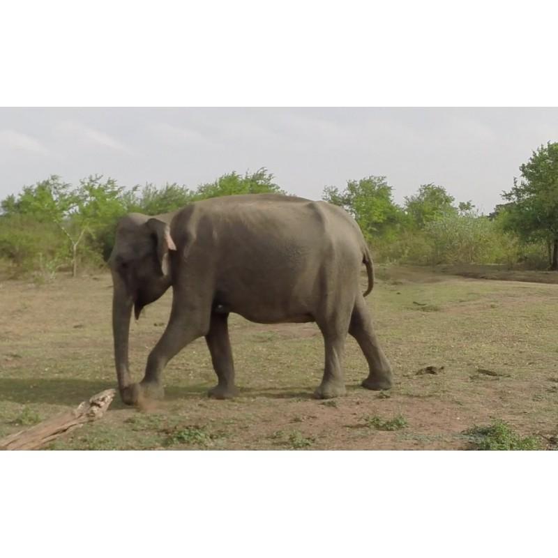 animals - Sri Lanka - Udawalawe safari - elephants - buffalo - jeep