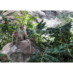 Zvířata - Srí Lanka - opice - příroda