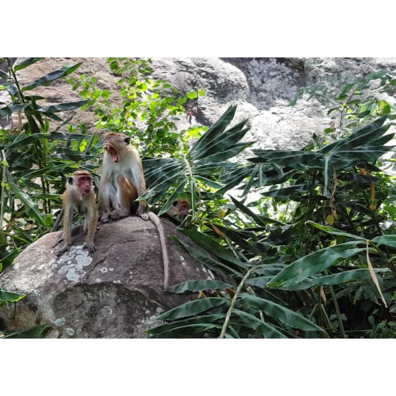 animals - Sri Lanka - monkey - nature