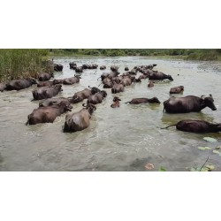 animals - Sri Lanka - water buffalo - lagoon