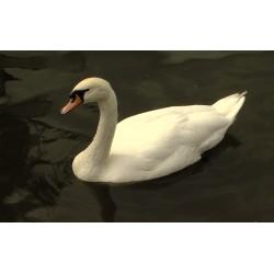ČR - zvířata - labuť - řeka