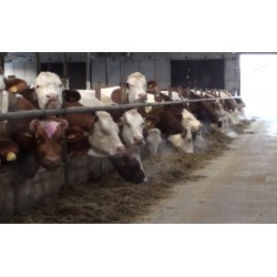 ČR - zemědělství - zvířata - budovy - krávy - kravín