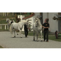 CR - animals - horses - pony - walk - canter - Kladruby