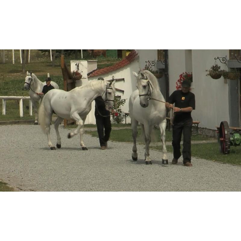 CR - animals - horses - pony - walk - canter - Kladruby
