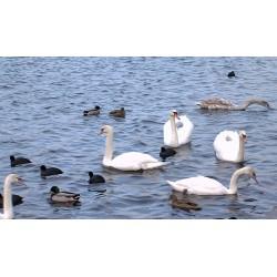 ČR - zvířata - příroda - labuť - pták - racek - řeka