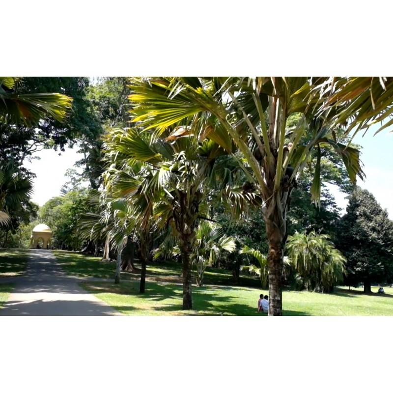Sri Lanka - nature - travelling - botanical garden - flowers - tree - palm
