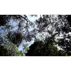 Srí Lanka - zvířata - příroda - netopýr - strom