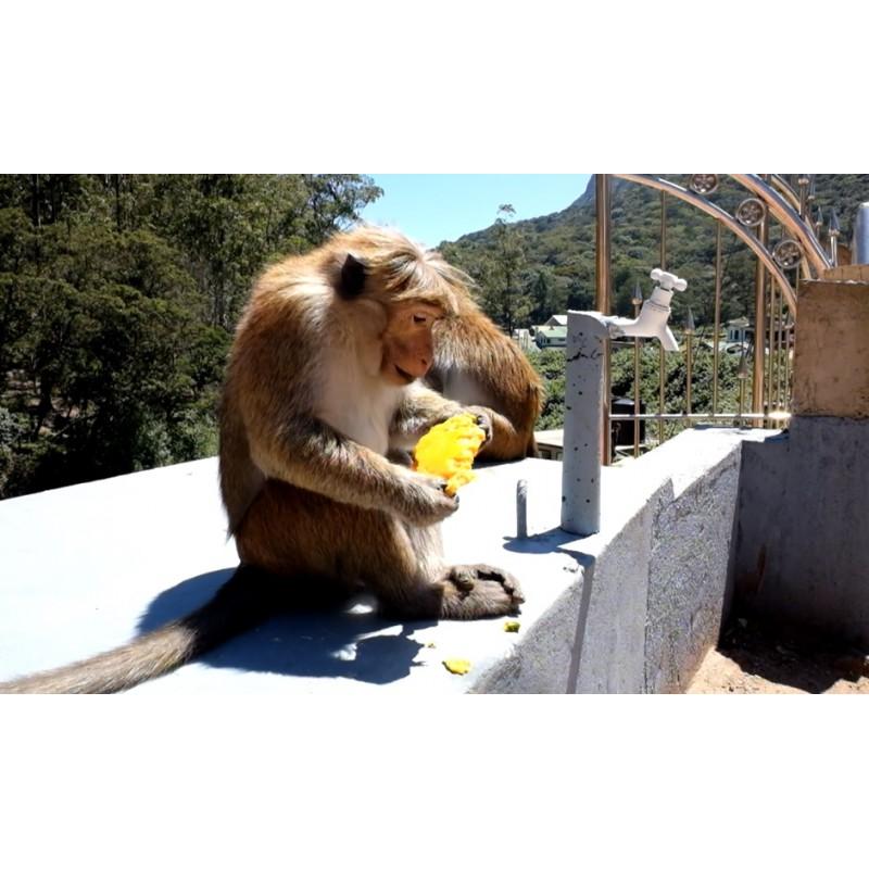 Sri Lanka - animals - nature - monkey - feeding