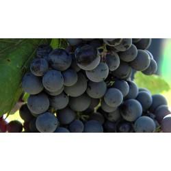 ČR - příroda - vinohrad - vinná réva - víno