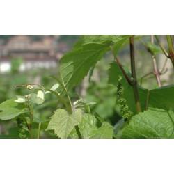 ČR - příroda - vinohrad - vinná réva - víno - 2