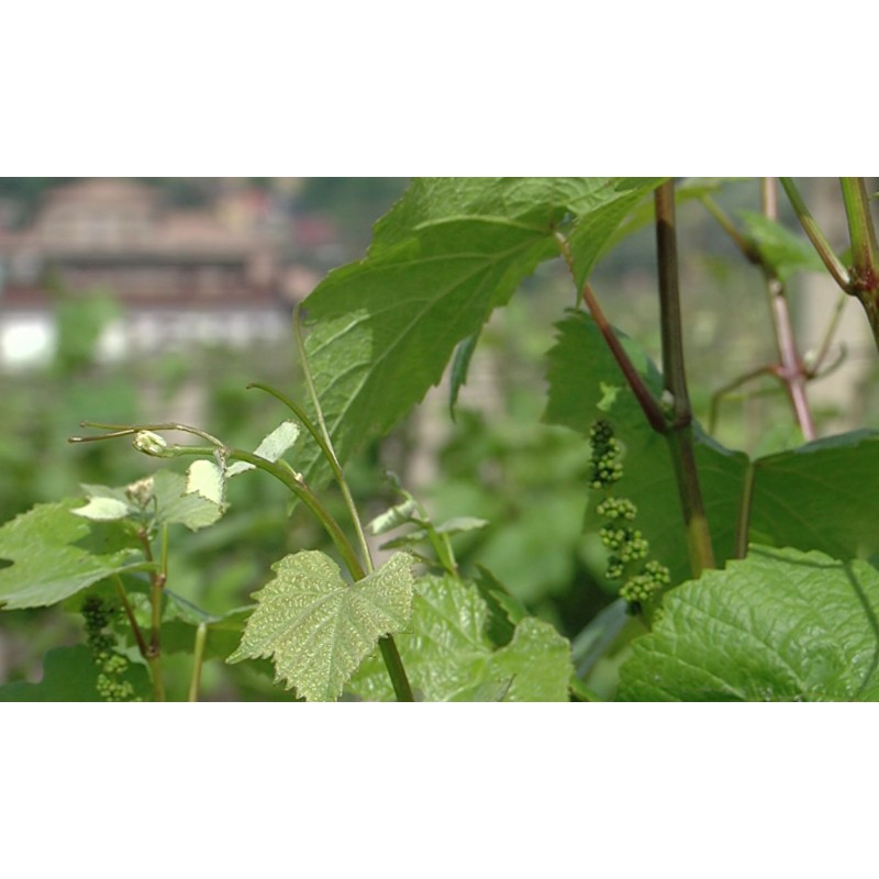 CR - nature - vineyard - grapevine - wine - 2