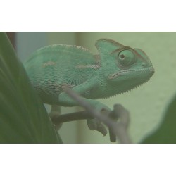 CR - animals - chameleon - aquarium