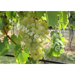 CR - agriculture - nature - Velké Pavlovice - grapevine - wine - vineyard - bunch