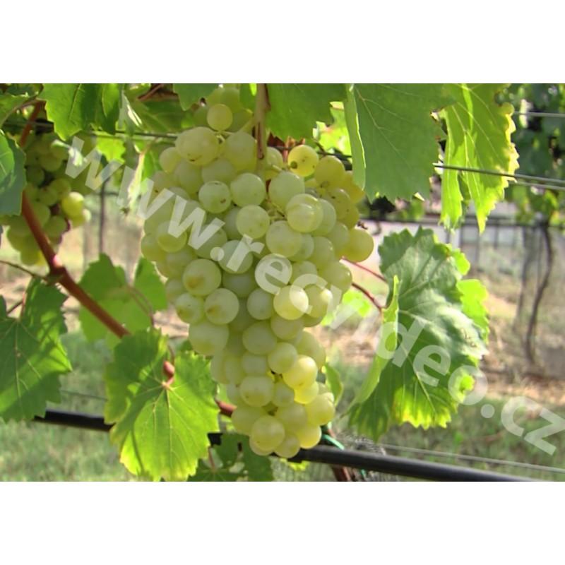 CR - agriculture - nature - Velké Pavlovice - grapevine - wine - vineyard - bunch