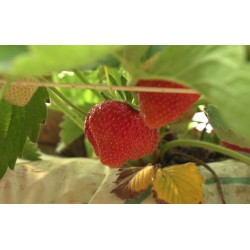 CR - agriculture - greenhouse - strawberry - growing - irrigation - drought - picking