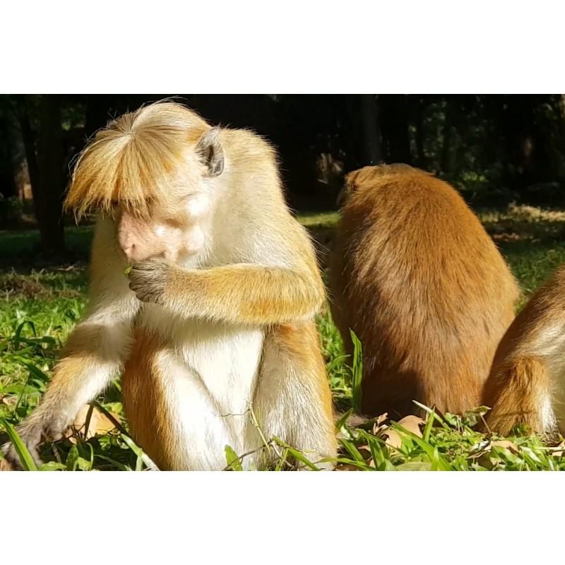 Animals - monkey - Srí Lanka - nature - 2K