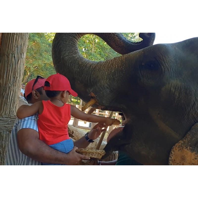 Sri Lanka - animals - travelling - Pinnawala - elephant - orphanage - feeding - river - banan - 4K