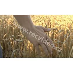 ČR - zemědělství - sklizeň obilí