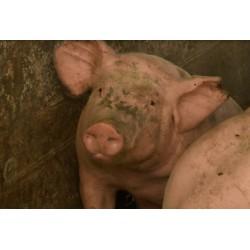 Francie - prasata - krávy - masokombináty - uzeniny - prodejna