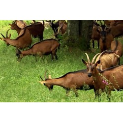 Francie - Itálie - kozy - sýr - výroba