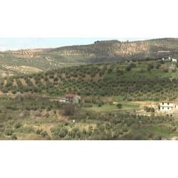 Řecko - olivy - pěstování