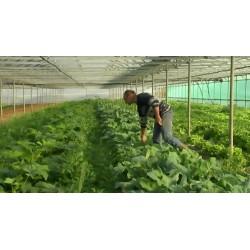 France - vegetables - greenhouse - growing