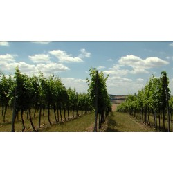 CR - Moravia - vineyard - grapevine