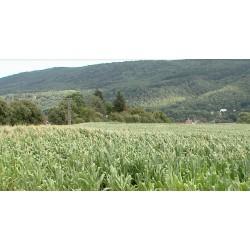 ČR - zemědělství - pole - kukuřice