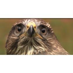 ČR - příroda - ptáci - dravci - sokol - káně