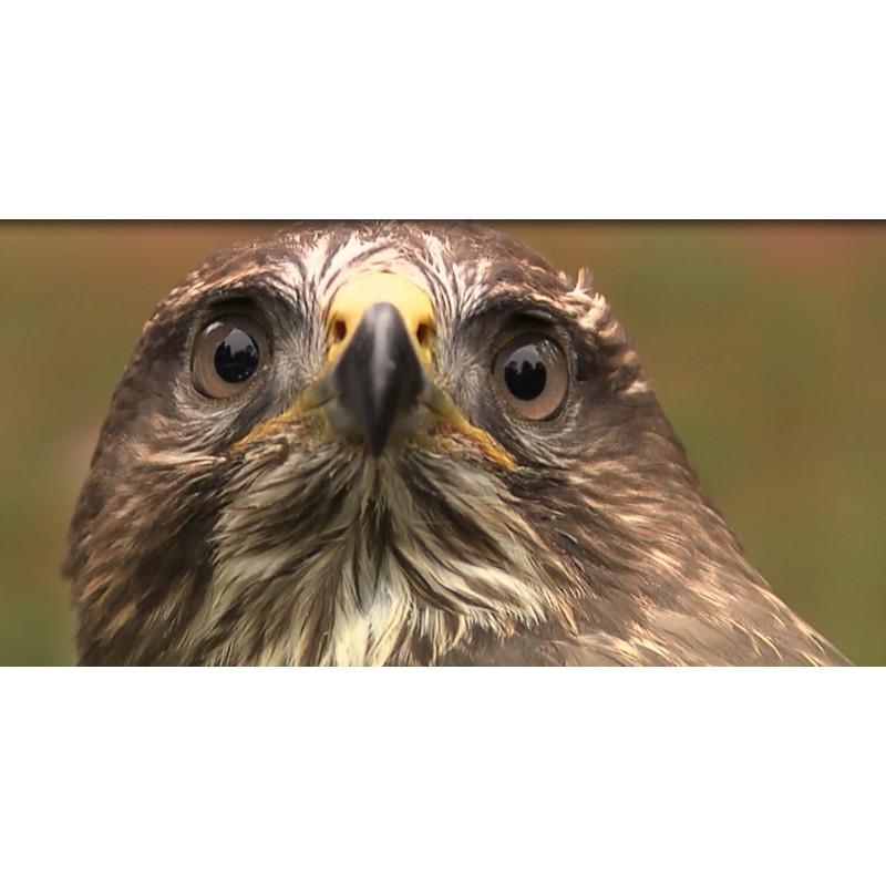 CR - nature - birds - raptor - falcon - buzzard