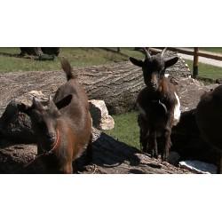 ČR - ZOO - děti - koza