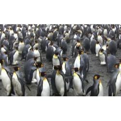 Antarktida - zvířata - tučňáci
