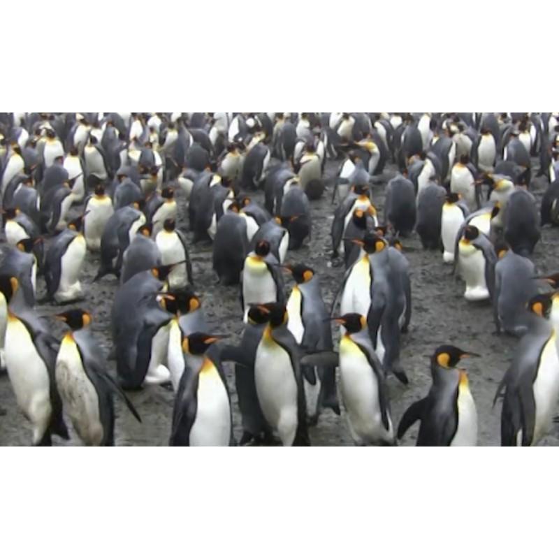 Antarctica - animals - penguin