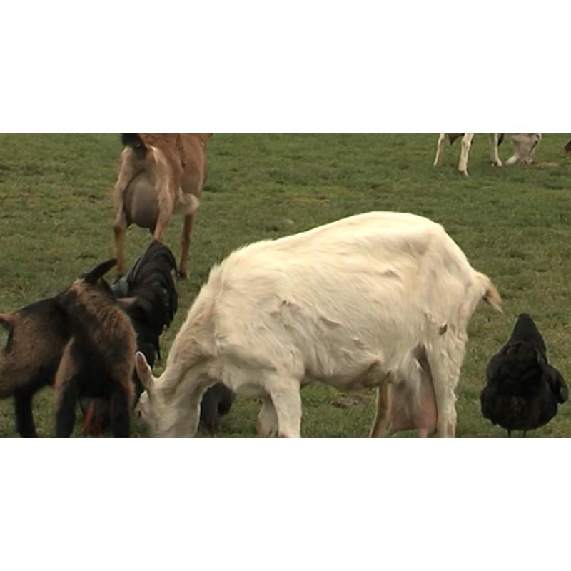 CR - animals - farm - goat - duck - pig