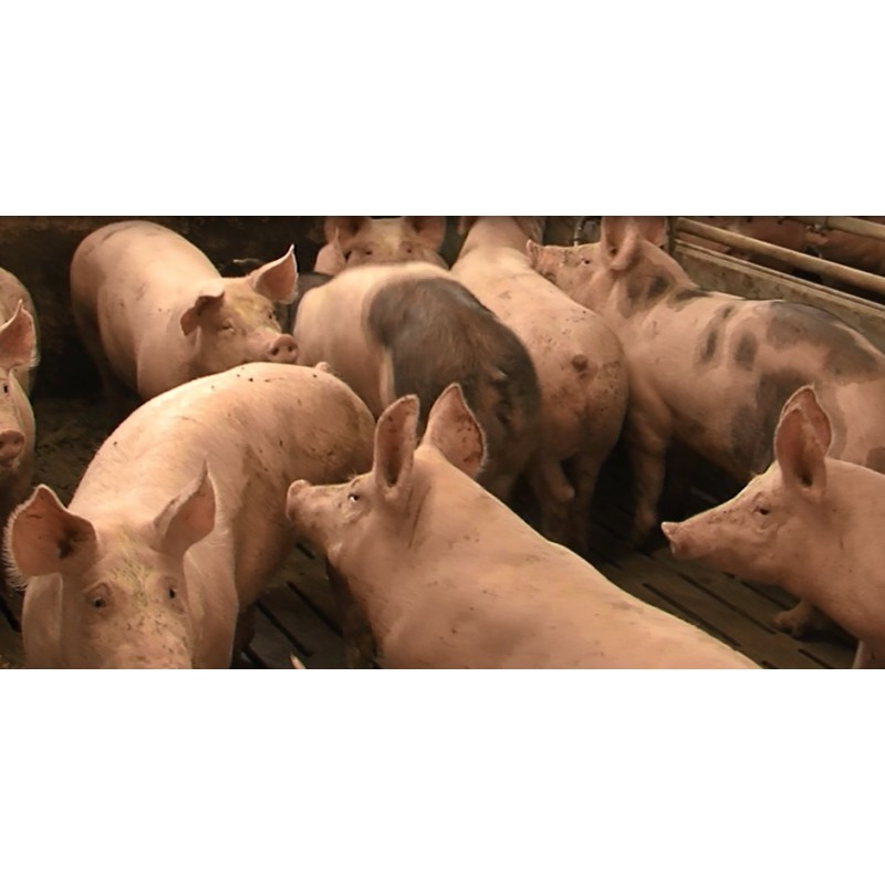 CR - animals - pigs