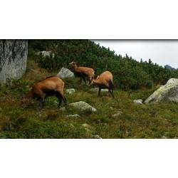 Slovakia - High Tatras - Vysoké Tatry - chamois
