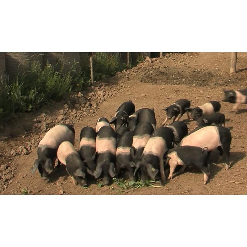 CR - animals - pigs - piglet